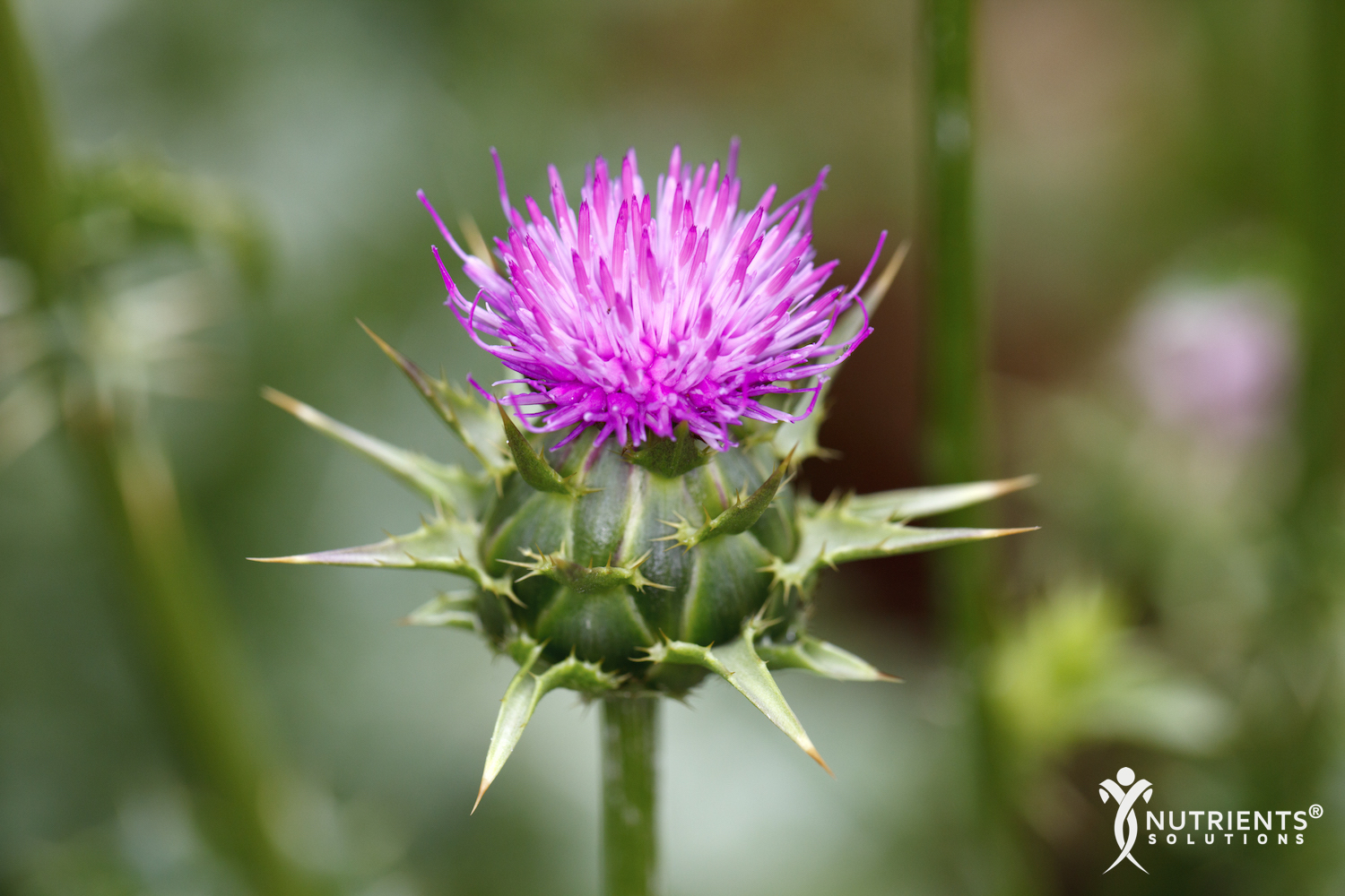 The Multiple Health Benefits of Milk Thistle