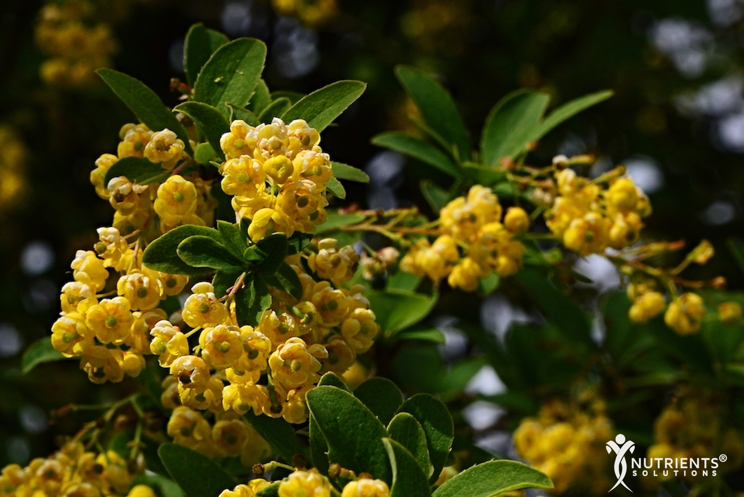 Berberine Used For Thousands of Years to Treat Ailments