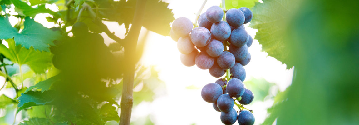 Grape Seed: Benefits for Heart, Skin Health, and Blood Sugar